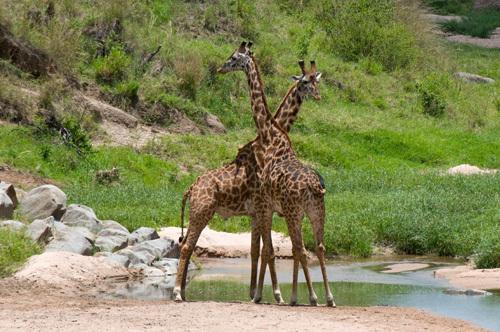 Masai Giraffe (Giraffa camelopardalis), Masai Mara National Reserve, Kenya by Sergio Pitamitz