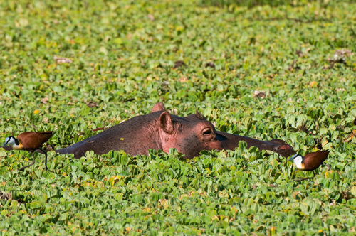 Hippopotamus, (Hippopotamus amphibius), Masai Mara National Reserve, Kenya by Sergio Pitamitz