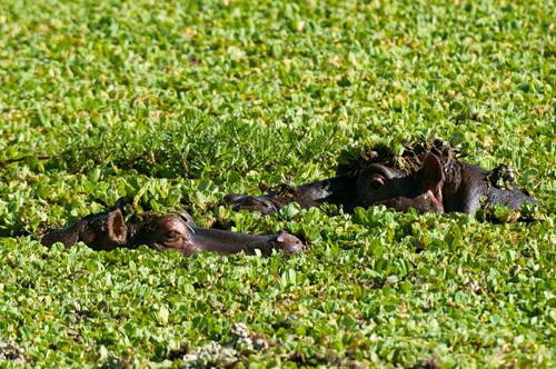 Hippopotamuses, (Hippopotamus amphibius), Masai Mara National Reserve, Kenya by Sergio Pitamitz