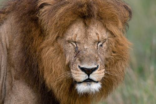 Lion (Panthera leo), Masai Mara National Reserve, Kenya by Sergio Pitamitz