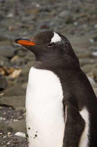 Gentoo Penguin, Aitcho Island, South Shetland Islands, Antarctica by Sergio Pitamitz
