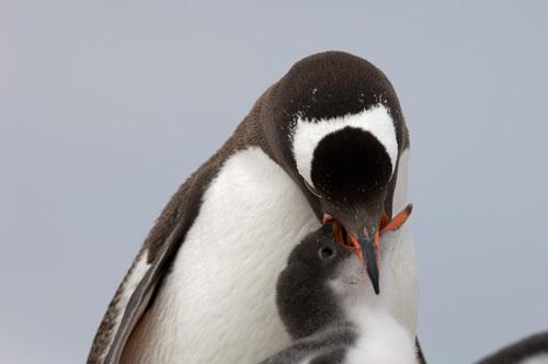 Gentoo Penguins, Petermann Island, Lemaire Channel, Antarctica by Sergio Pitamitz
