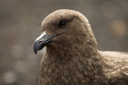 South Polar Skua, Telephone Bay, Deception Island, South Shetland Islands, Antarctica by Sergio Pitamitz