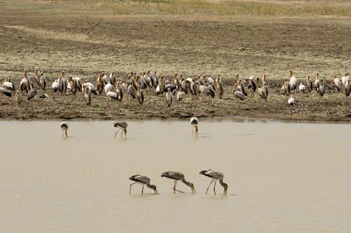 Yellow-billed Storks (Mycteria ibis), Luangwa River, South Luangwa National Park, Zambia by Sergio Pitamitz