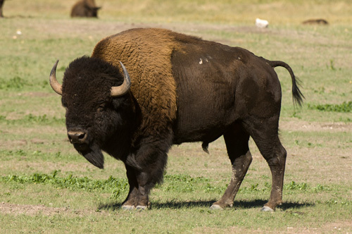 Bison, Custer State Park, Black Hills, South Dakota, USA by Sergio Pitamitz