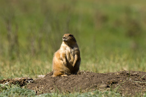 Prairie Dog, Custer State Park, Black Hills, South Dakota, USA by Sergio Pitamitz