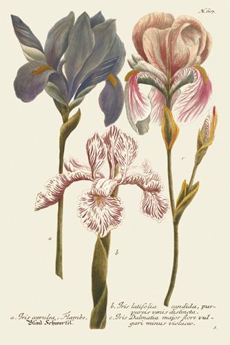 Iris Resplendant III by Joseph Weinmann