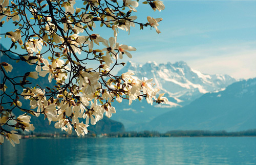 Blossoming Magnolia, Lake Geneva, Switzerland by Guenter Fischer