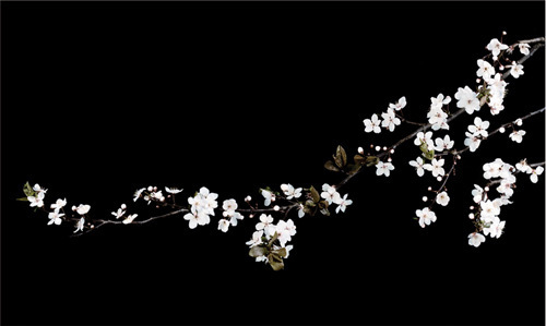 Branch of White Blossom by Ian Winstanley