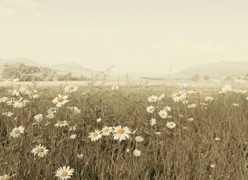 Field of Daisies by Ian Winstanley