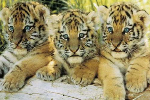 Tiger Cubs by Anonymous