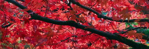 Maple Glade V by Bill Philip