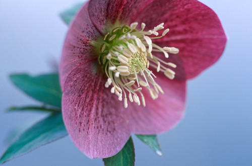 Red Hellebore by Sabina Ruber