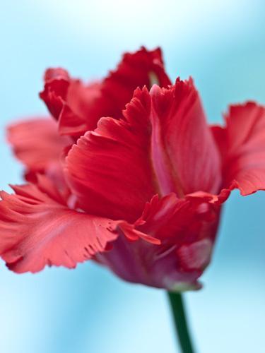 Tulipa 'Garden Fire' by Sabina Ruber