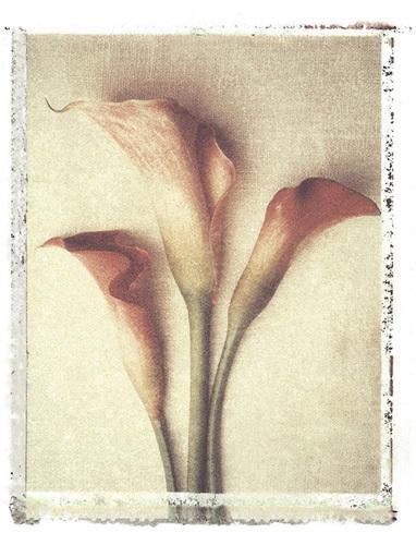 Calla Lily by Deborah Schenck