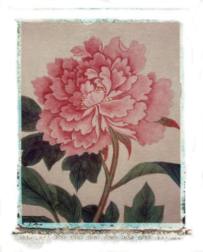 Pink Peony by Deborah Schenck
