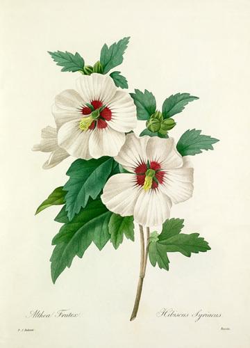 Althea Frutex : Hibiscus syriacus by Pierre Joseph Celestin Redouté