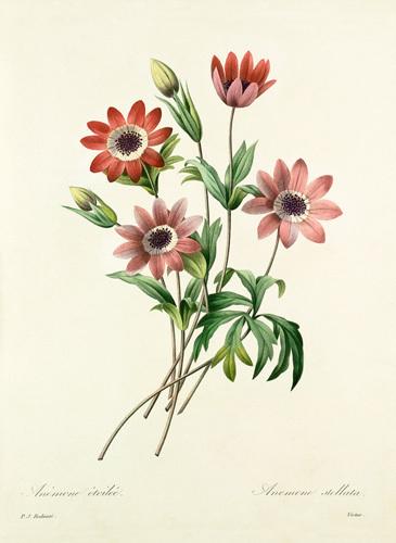 Anémone étoilée, Anemone stellata by Pierre Joseph Celestin Redouté
