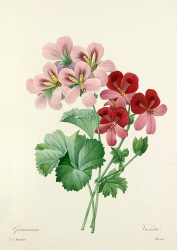 Geranium varieté by Pierre Joseph Celestin Redouté