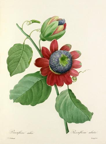 Passiflore ailée : Passiflora alata by Pierre Joseph Celestin Redouté