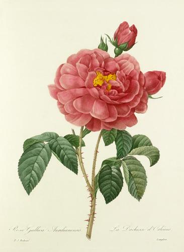 Rosa Gallica Aurelianensis : La Duchesse d'Orléans by Pierre Joseph Celestin Redouté