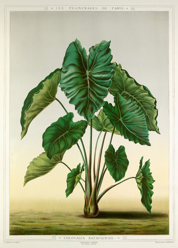 Colocasia bataviensis by G. Severeyns
