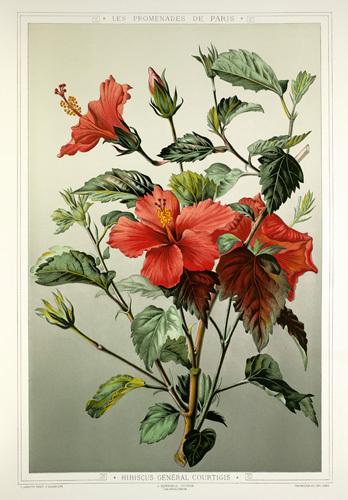Hibiscus Général Courtigis by Francois Frederic Grobon