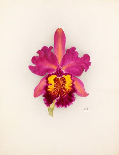 Cattleya Gladiator gx (Cattleya dowiana x Cattleya Gladys) by Nellie Roberts