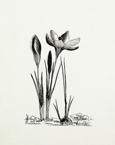 Crocus chrysanthus by Graham Stuart Thomas