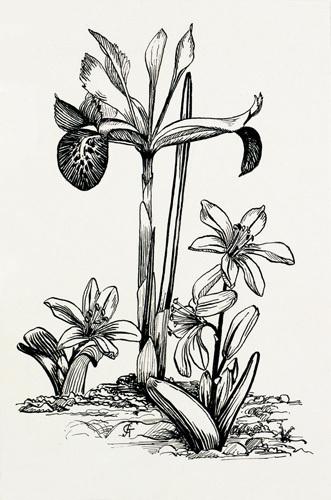 Iris histrio and Scilla mischtschenkoana by Graham Stuart Thomas