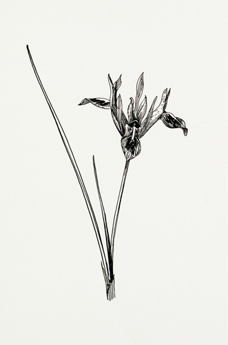 Iris pumila by Graham Stuart Thomas