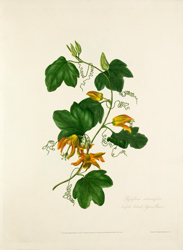 Passiflora adiantifolia. Norfolk Island Passion Flower by Mary Lawrance