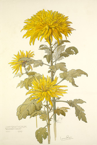 Chrysanthemum 'December Gold' by Laurence Stanley Perugini