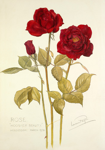 Rose 'Hoosier Beauty' by Laurence Stanley Perugini