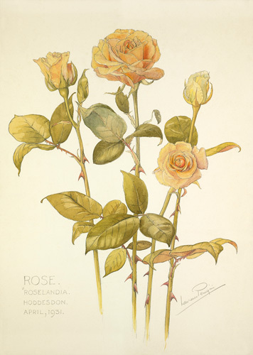 Rose 'Roselandia Hoddeston' by Laurence Stanley Perugini