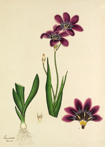Plate 87, Vol I by Henry Charles Andrews