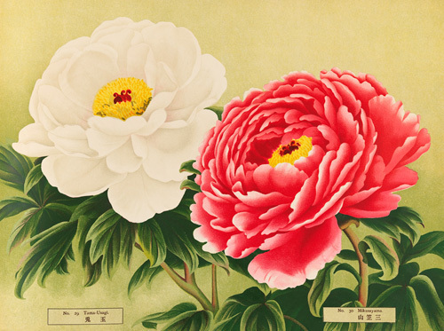No. 29 Tama-Usagi and No. 30 Mikasayama by The Yokohama Nursery Co Ltd