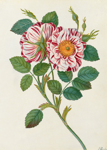 Striped or Premestine Rose by James Bolton