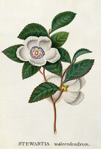 Stewartia malecodendron by James Bolton