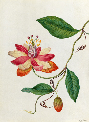 Monier's Passion Flower by James Bolton