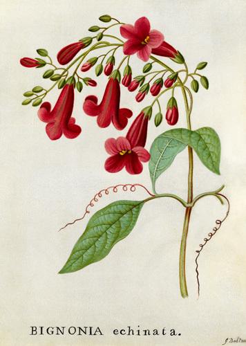 Bignonia echinata, Hedge-hog Trumpet Flower by James Bolton