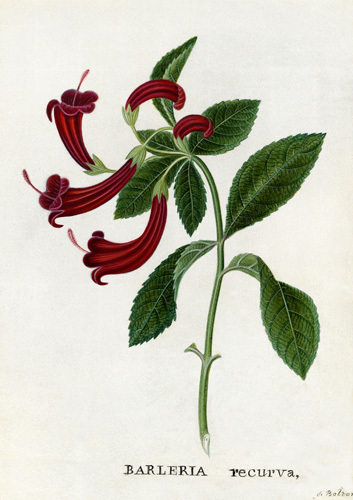 Barleria recurva, Barleria with Curved Flowers by James Bolton