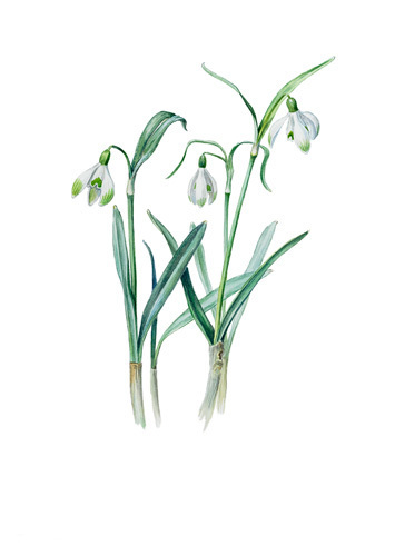 Galanthus nivalis sharlokii by Edward Augustus Bowles