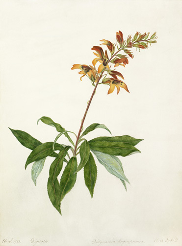 Digitalis, Didynamia angiospermia by Elizabeth Smith