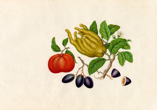 Citrus medica sarcodactylis, Citrus reticulata, Carissa caraunda by Wang Lui Chi