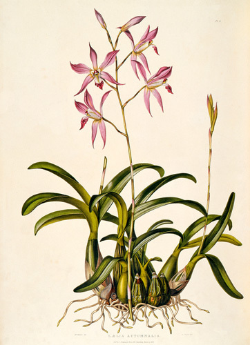 Laelia autumnale by M. Gauci