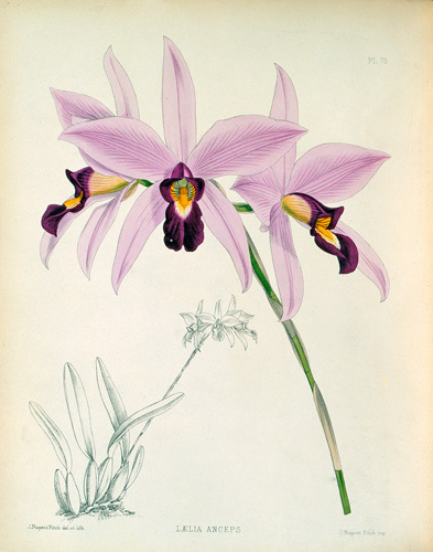 Laelia anceps by John Nugent Fitch