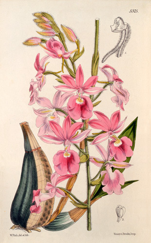 Calanthe Veitchii gx by Walter Hood Fitch