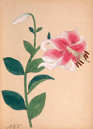 Lilium speciosum by Anonymous