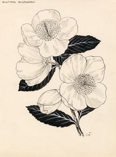Eucryphia nymansensis by Cynthia Newsome-Taylor